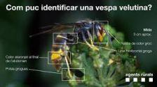 La vespa asiàtica presenta un aspecte més fosc en comparació a les vespes autòctones del nostre país